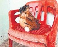 Sosyetik tavuk
