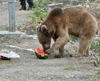 Aç kalan yavru ayı sokağa indi