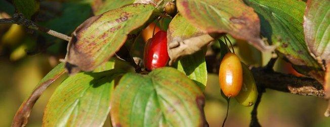 Hünnap vücudu tepeden tırnağa yeniliyor! İşte kalsiyum deposu hünnap meyvesinin faydaları...