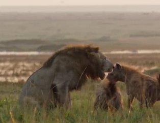 Sırtlan klanının ortasında kalan aslan ve kaçınılmaz ölüm! Bir anda ortaya çıkan Tatu...
