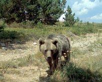 Kars'ta yaşıyor! Dünyayı değiştiren ayı