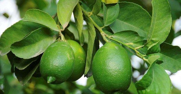 Limon 2.5 liraya düşecek