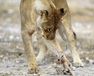 İnanılmaz görüntü! Aslan yavru ceylanı aldı ve...