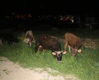 Çoban uyuyunca başıboş kalan danalar caddeye kaçtı!