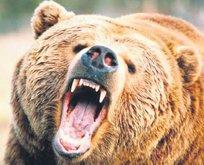 Boz ayı paniği!