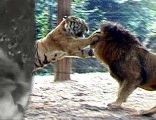 Aslan ve kaplanın karşılaşmasında sürpriz son! Nefesleri kesti
