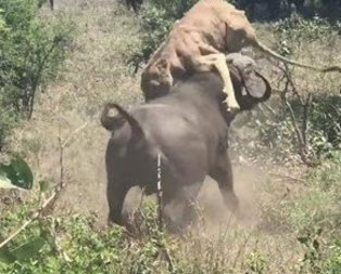 Aslan hayatının şokunu yaşadı