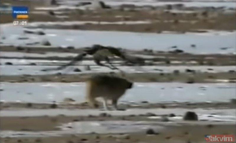 Kartalın kurt avı kanları dondurdu! Vahşi doğada Kartalın Kurt avı izleyenleri şoke etti