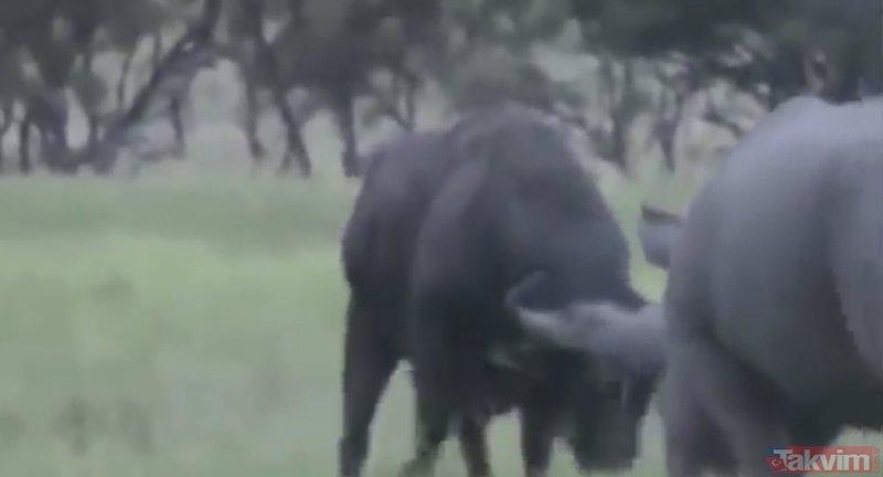 Vahşi doğada devlerin inanılmaz kapışması görenleri şoke etti!