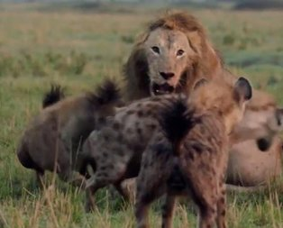 Sırtlanların arasında aslan! Son anda öyle bir şey oldu ki...