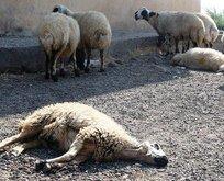 Valilikten kritik şarbon açıklaması: Telef olan hayvanlar...