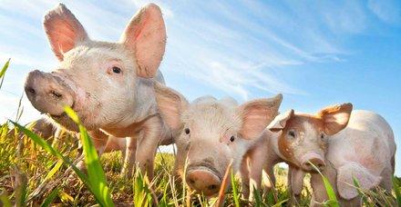 Rüyada domuz görmek ne anlama gelir?