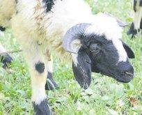 Köpeğin ısırdığı koyunu yiyen ailede kuduz şüphesi