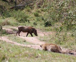 Hamile leopardan akıllara zarar taktik! İşte o korkunç görüntüler...