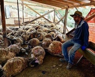 Ağıla giren genç adam şoku yaşadı! Gümüşhane'de kurtların saldırısı sonucu 103 koyun telef oldu, 43 koyun yaralandı