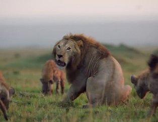 Aslan öldürülmeyi beklerken... Vahşi doğada kan donduran anlar!