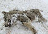 Sivas'ta aşırı soğuklar yüzünden kurt dondu!