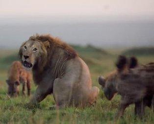 Sırtlan klanının ortasında kalan aslan ve kaçınılmaz ölüm!