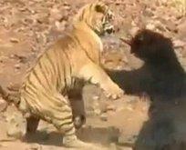 Vahşi doğada Kaplan ile ayının şoke eden kavgası!