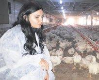 Hibeyle başladı 300 bin tavuk üretiyor