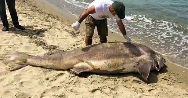 Kuşadası'nda sahile dev köpek balığı vurdu