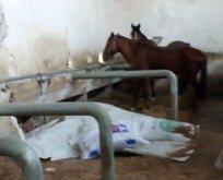 Atlar ölüyor belediye veterineri savunuyor!