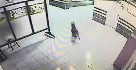 Kocaelide, okula giren pitbull polis tarafından vuruldu