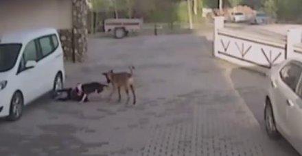Servis bekleyen çocuk ve annesine pitbull saldırısı!