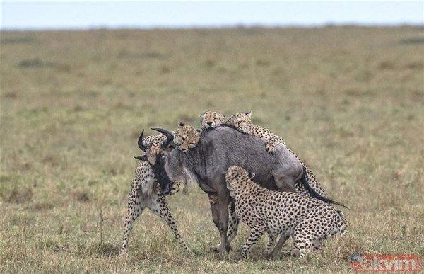 Timsah ve jaguarın karşılaşması nefesleri kesti! İşte acımasız savaşları