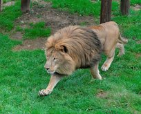 Erdoğan'a hediye edilen yavru aslanlar büyüdü