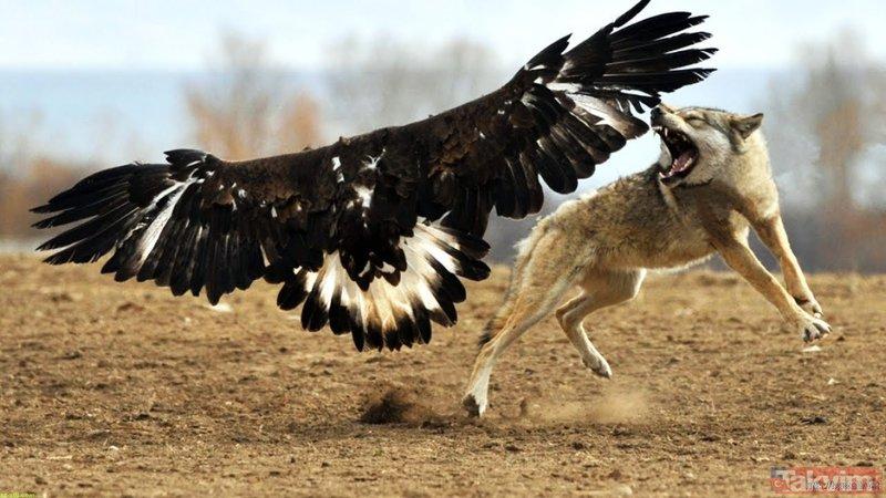 Vahşi doğada kartalın kurt avı görüntüleri görenleri şoke etti!