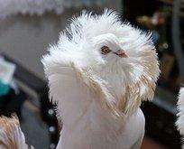 Bu güvercini almak için evini arabasını satan var!