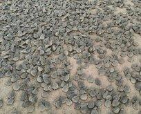 Amazon Nehri'nde kaplumbağa seli! Binlercesi sahile vurdu