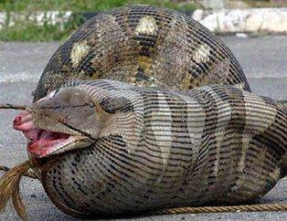 Dev piton 2 metrelik timsahı yutamayınca... Görenler gözlerine inanamadı