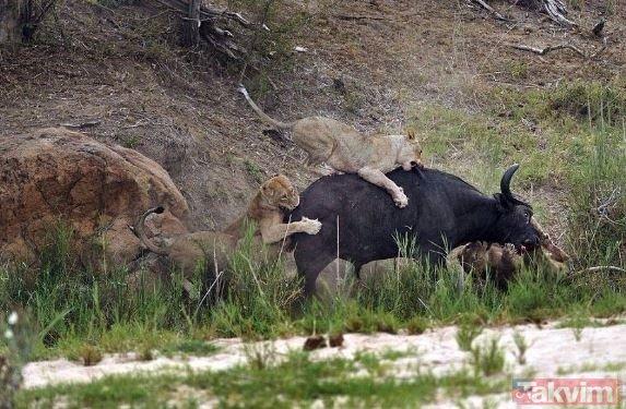 Ava giderken avlandı! Aslanın etrafını saran bufalolar...