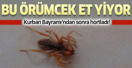 Kahramanmaraş'ta bulundu! Bu örümcek et yiyor!