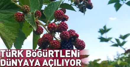 Türk böğürtlenini, Turkish Cargo dünyaya taşıyor