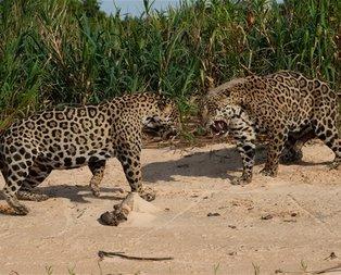 Jaguarlar karşı karşıya gelince... .