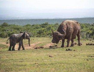 Bufalo yavru file saldırdı saldırmasına ama sonra... İşin sonu çok farklı bitti!