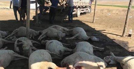 Ankara'nın Polatlı ilçesinde 100 hayvan telef oldu! Nedeni bilinmiyor...
