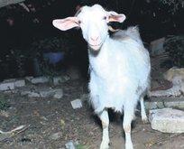 Keçileri kaçırdık