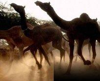 Avustralya'da 5 bin deve öldürüldü!