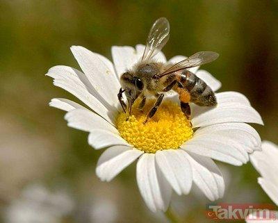 Arı sütü nelere iyi geliyor? İşte arı sütünün faydaları