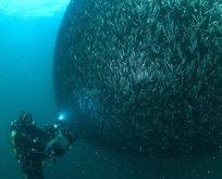 Hamsi Karadenizde doğal ortamında görüntülendi