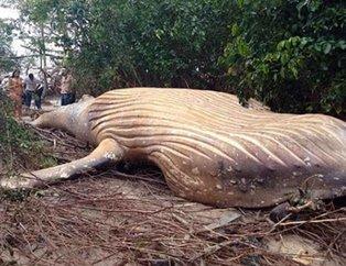 Brezilya'da ormanda bulunan balina dünyayı şoke etti!