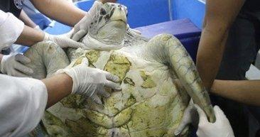 Kaplumbağanın karnından çıkanlar hayrete düşürdü! İnsanlık ayıbı...