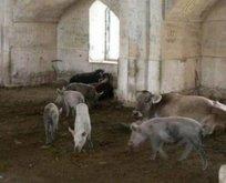 Dağlık Karabağ'da camileri ahıra çevirip domuz beslemişler!