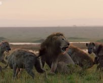 Sırtlanların arasında kalan aslanın inanılmaz kurtuluşu