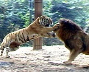 Aslan ve kaplanın kavgası hayrete düşürdü!