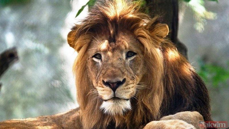 Vahşi doğanın acımasız yüzü! Tek sandığı bufaloya saldırmak isteyen aslanın feci sonu...